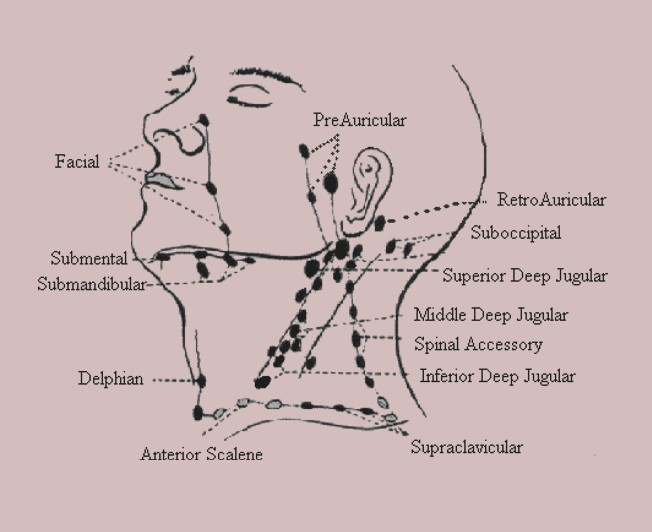 Cervical Lymph Nodes - Anatomy  Diagram  Location  Treatment -  2020