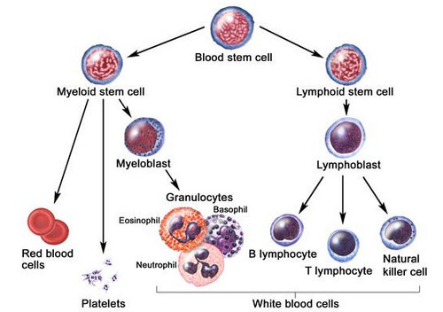 Life of a White Blood Cell