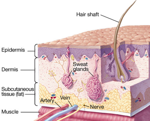 a clear view of how complex the skin anatomy is.image