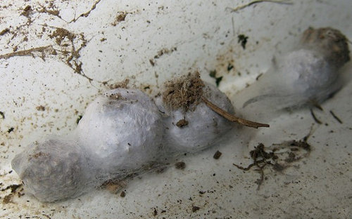 a number of egg sacs that just one female Hobo Spider is capable of creating.photo