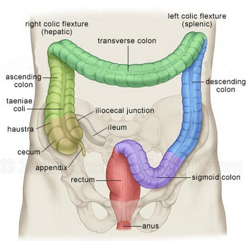 each part of the colon in different colors.image