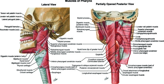 the complicated muscles in the pharynx.photo