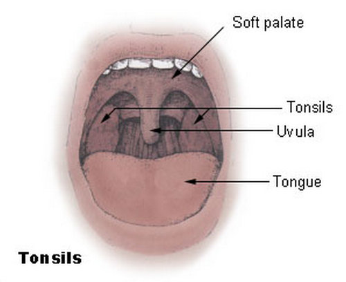 the connection between the soft palate and the uvula.picture