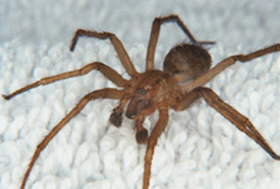 the dark brown color and verify that there are no ring marks near the legs.of a male Hobo spider.image