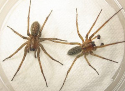 the difference between the male and female hobo spider.picture