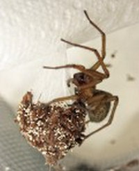 the female Hobo spider with her egg sack..image