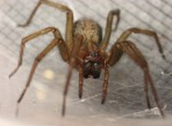 the frontal view of a female Hobo Spider.photo
