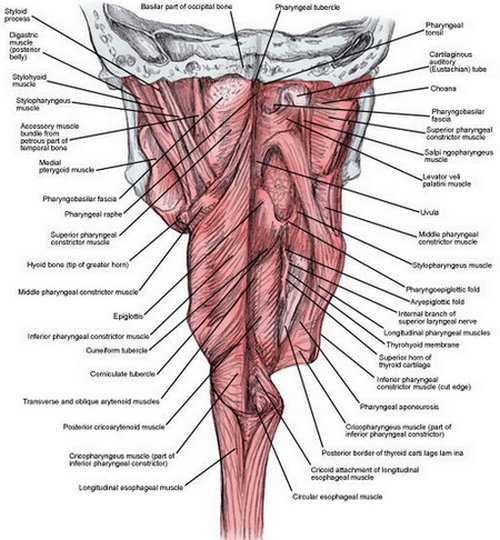 the intensity of the muscular makeup of the throat.image