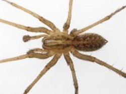 the male Hobo spider one which was captured in Washington.image