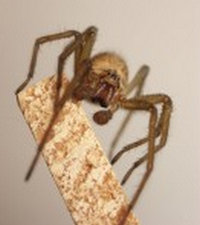 the spider is standing on the tip of a file which can help to understand its size.photo