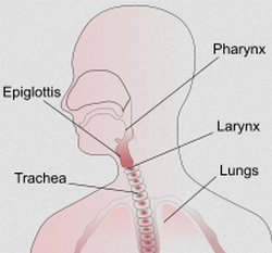 the trachea is in comparison to the larynx and the lungs.picture