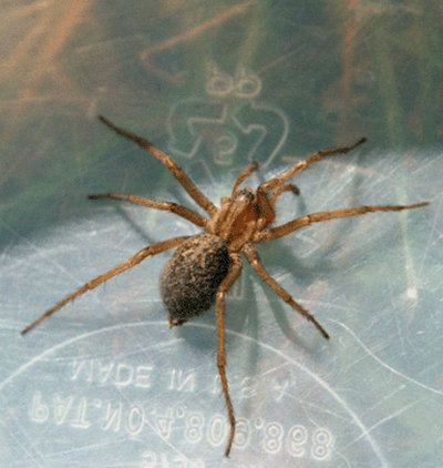 what a hobo spider may look like it.picture