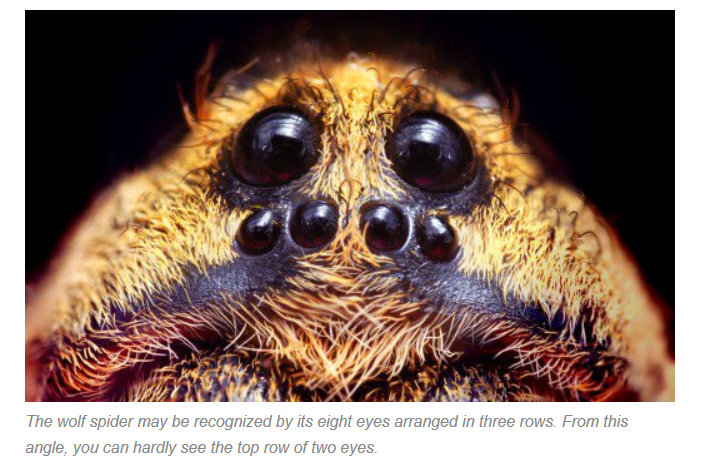 Wolf spiders Bites (Pictures,Images), How to get rid of ...