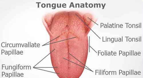 An anatomical structure of the tongue outlining the different papillae.picture