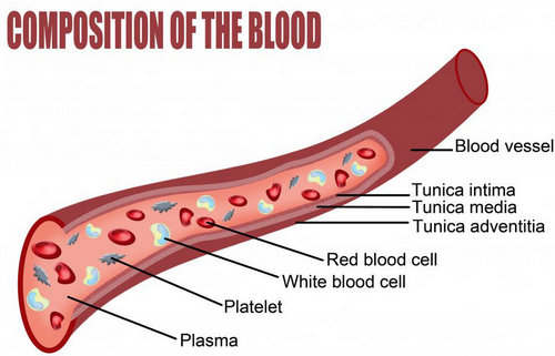 An illustration of blood vessels and various compositions of the blood.picture