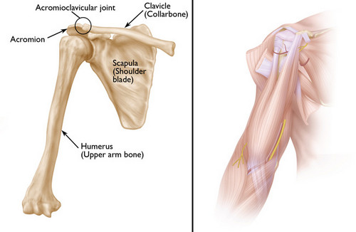 The scapula and the surrounding bony structures photo