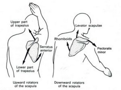 The scapula outlining the three muscle groups responsible for the movement of the scapular region pictures