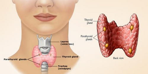 The thyroid gland is situated below the voice box and just above the windpipe image photo picture