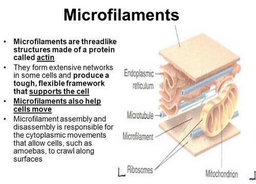 Ein Mikrofilament ist eine Struktur in der Zelle, die wie ein Faden aussieht. Foto Foto &quot;width =&quot; 500 &quot; height = &quot;361&quot; /&gt;</p><p style=