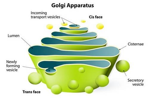 Der Golgi-Apparat der menschlichen Zelle Bild Fotobild &quot;width =&quot; 500 &quot;height =&quot; 327 &quot;/&gt;</p><p style=