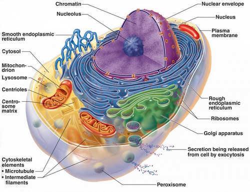 Die anatomische Darstellung des menschlichen Zellbildes Fotobild &quot;width =&quot; 500 &quot;height =&quot; 385 &quot;/&gt;</p><p style=