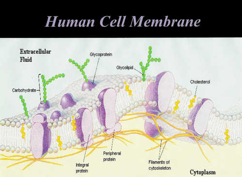 Das menschliche Zellmembranbild Fotobild &quot;width =&quot; 500 &quot;height =&quot; 365 &quot;/</p><p style=